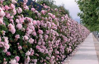 Chăm sóc hàng rào hoa hồng đẹp như mơ